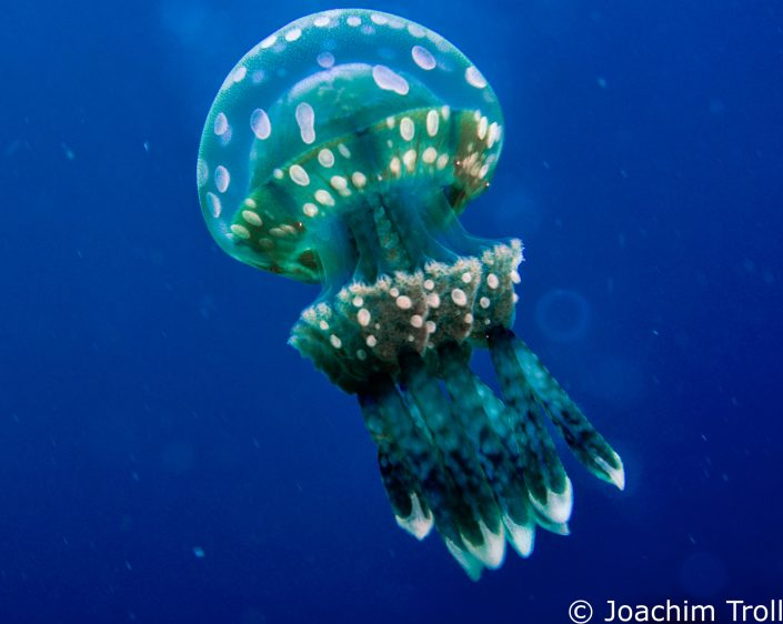 Spotted Jellyfish.